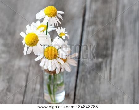 White Daisy Flower Bouquet On Rustic Weathered Wooden Table. Harvesting Of Fresh Camomile Flowers In
