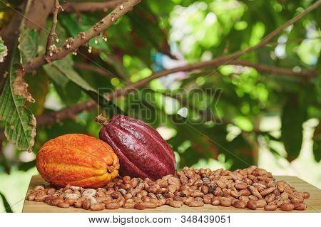 Raw Organic Cacao Fruits