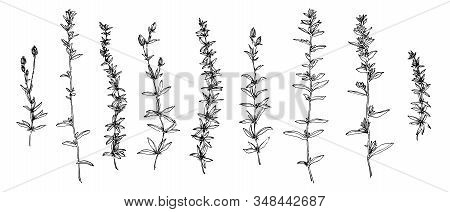 Hand Drawn Wild Plants And Flowers Collection. Outline Herbs Sketch Ink Painted. Black Isolated Bota