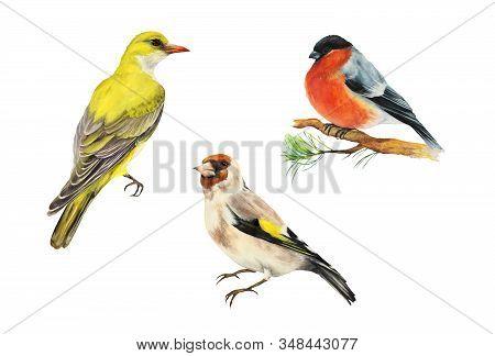 Three Birds: Goldfinch Bird (carduelis), Oriole, Yellow Bird, Bullfinch Bird (carduelis). Set. Water