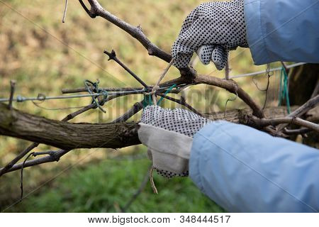 Tying A Grapevine Branch To The Brackets