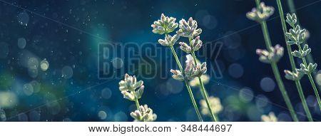 Elegant White Lavender Blooming In Green Meadow. Social Media Banner Or Header.