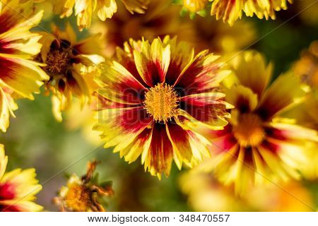 A Portrait Of A Beautifful Coreopsis Flower. The Enchanted Eve Flower Has Red With Yellow Petals And