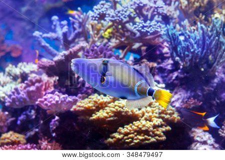 Lagoon Triggerfish Also Known As The Blackbar Triggerfish, Picasso Triggerfish And Picassofish (lati