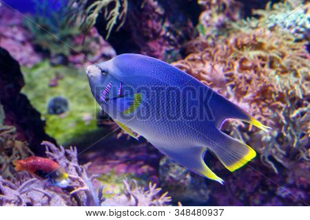 Blue Angelfish (holacanthus Bermudensis) Beautiful, Exotic Fish Swims Among Coral Reefs. Soft Focus,