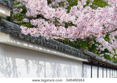 Beautiful Cherry Blossom (sakura Flower) In Full Bloom And Japanese Ancient House Roof Tile, Japan S