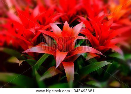 Blossom Of Guzmania Bromelia. Sale. Pot Plants, Indoor Plants, Tropical Plants. Several Plants Are L