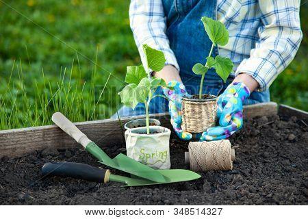 Woman Gardener hands in gardening gloves planting Sprouts in the vegetable garden. Spring garden work concept.
