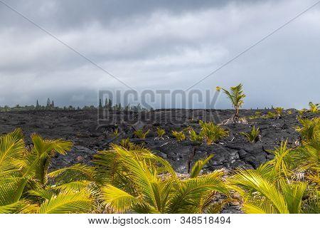 Kaimu Beach, Hawaii, Usa. - January 14, 2020: Young Palm Trees On Top Of Hardened Black Lava Field O