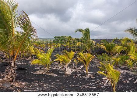 Kaimu Beach, Hawaii, Usa. - January 14, 2020: Closeup Of Young Palm Trees On Top Of Hardened Black L