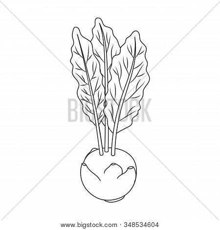 Cabbage Of Kohlrabi Vector Icon.outline, Line Vector Icon Isolated On White Background Cabbage Of Ko
