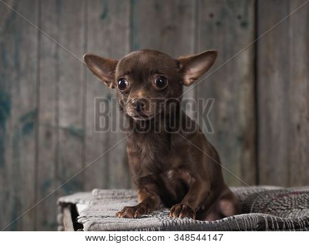 Incredibly Stunned Dog. Funny Chihuahua. Emotional Portrait Of A Dog