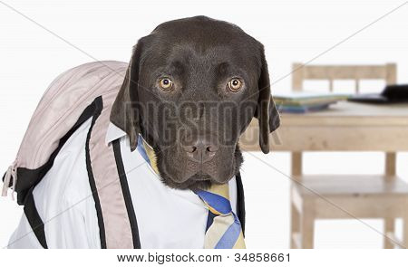 Young Chocolate Labrador Going Back to School