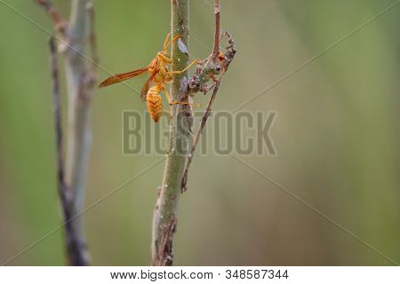 Yellow Wasp And Hornet Are Some Of The Deadliest Insects In South Asia. The Common Wasp, Red Paper W