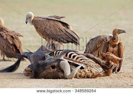 White-backed vultures (Gyps africanus) scavenging on a wildebeest carcass, South Africa