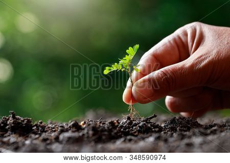 Farmer Hand Planting Sprout (tamarind Tree) In Fertile Soil.