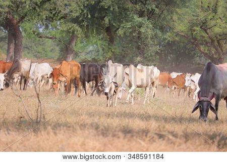 Orange Cows  , Black Cows, Brown Cows, White Cow,  Mother Cows In  Cows Group , Outdoor Cows Animals