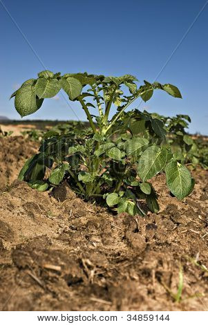 Potato plant on the field with blue sky