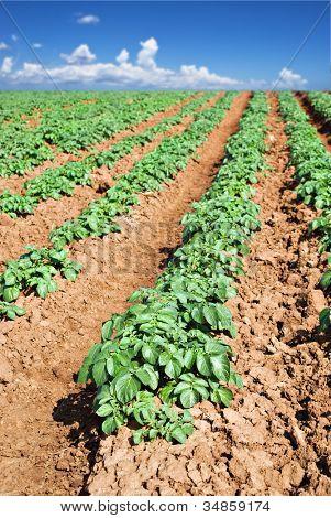 Green potato fields against blue sky