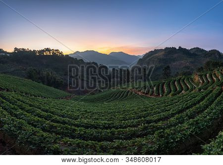 The Scenery Of The Strawberry Farm At Dawn With A Beautiful Row Of Strawberries At Nolae Village In