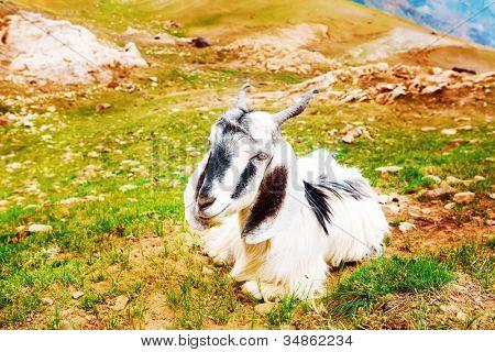 Goat lying on scanty mountainous grass