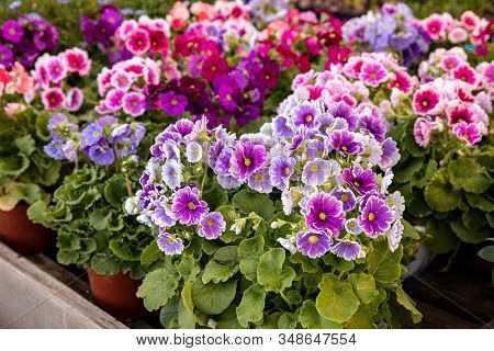Beautiful Of Spring Primroses Flowers - Primula Polyanthus Or Perennial Primrose In The Garden Shop