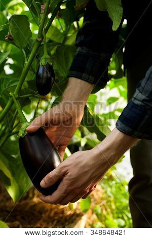 Hands Of Farmer Picking Fresh Organic Ripe Tomatoes At Farm In Greenhouse Close-up.harvesting And Ga