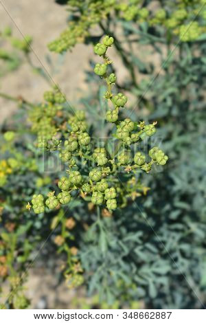 Common Rue Seed Pods - Latin Name - Ruta Graveolens