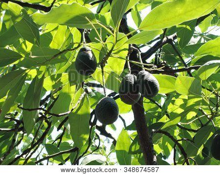 Avocado On Plant Or Raw Avocado On Tree Fresh Product In Organic Farm, Avocado Fruit On Tree Useful