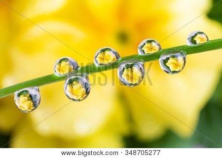 Water Drops On A Green Leaf Of A Plant. The Droplets Reflect The Yellow Flower, Which Is In The Back