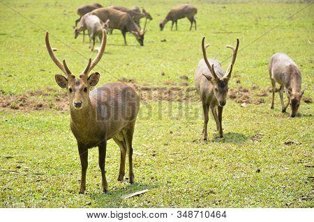 Hog Deer On Green Field In National Park