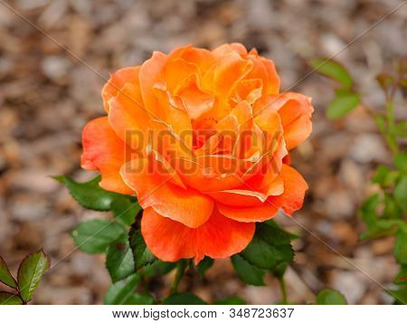Lovely Rose With Orange Petals, Variety Rosa Fellowship Floribunda, In Full Bloom
