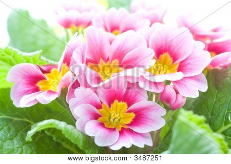 Close-Up Of A Spring Pink Flower, Isolated