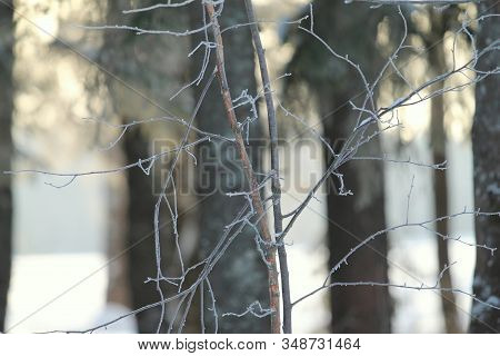 Icy Branch On Blurry Background Of Trees. Fabulous Winter Mood. Soft Sunlight. Stock Photo For Web,