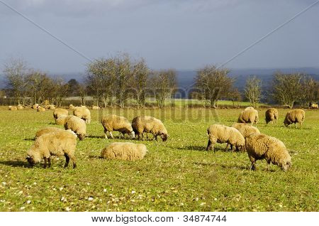 Sheeps in a field in England, winter season poster