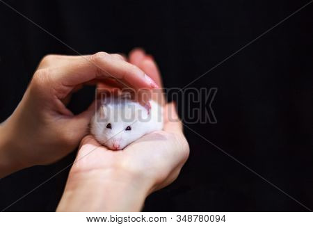 Selective Focused Cute Little Female Winter White Dwarf Or Siberian Hamster Caressed On Owner Hand.