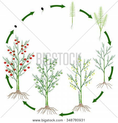 Life Cycle Of A Asparagus Plant On A White Background.