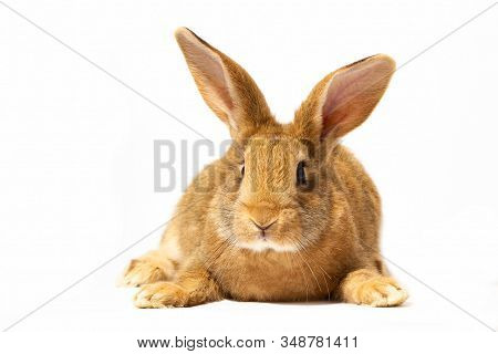 A Small Fluffy Red Rabbit On A White Background, An Easter Bunny For Easter. Rabbit For Spring Holid