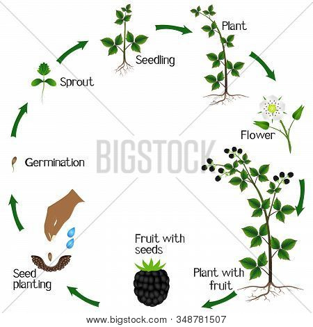 Life Cycle Of A Blackberry Plant On A White Background.