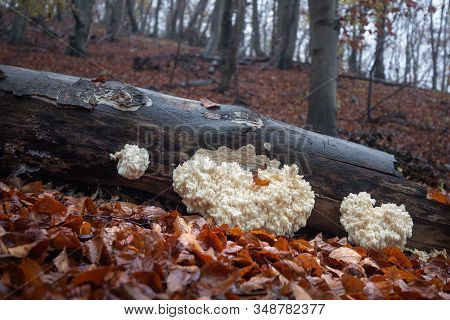Edible Mushrooms Of Unusual Shape That Grow On A Tree Trunk