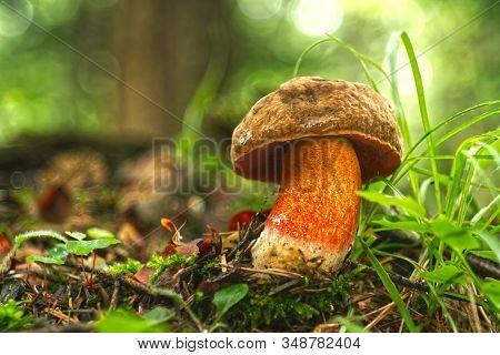 Edible Mushroom Neoboletus Luridiformis From Central Europe Forests, Slovakia