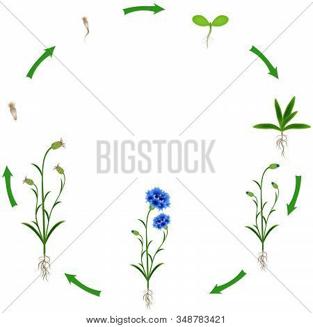 Life Cycle Of A Blue Cornflower On A White Background.