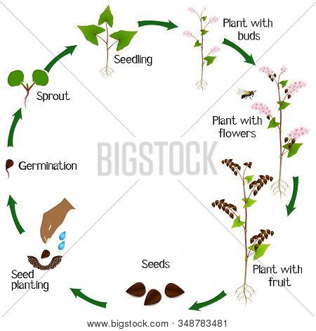 Life Cycle Of A Buckwheat Plant On A White Background.