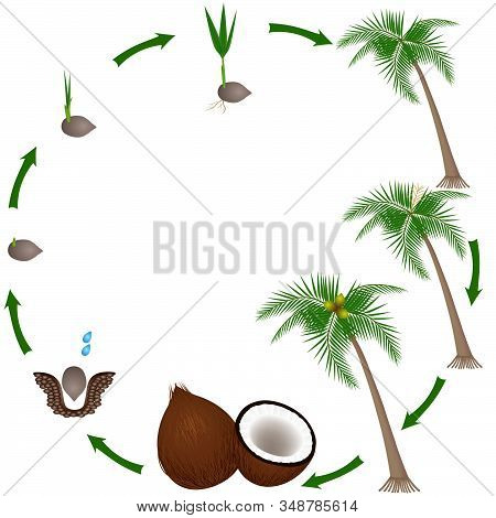 Life Cycle Of A Coconut Plant On A White Background.