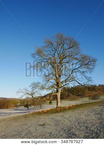 Large Solitary Tree In Winter With Frosted Ground And Blue Sky, Chilterns, Oxfordshire, England