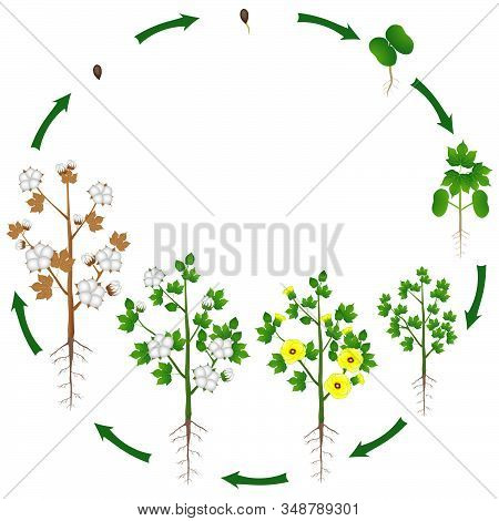 Life Cycle Of A Cotton Plant On A White Background.