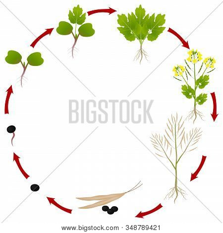 The Life Cycle Of A Rapeseed Plant On A White Background.