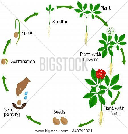 Life Cycle Of A Ginseng (panax Ginseng) Plant On A White Background.