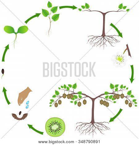 Life Cycle Of A Kiwi Plant On A White.