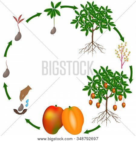 Life Cycle Of A Mango Plant On A White Background.